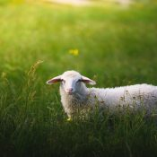 rsz_sheep_in_meadow