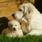 Canva - Golden Retriever Dog and a Puppy