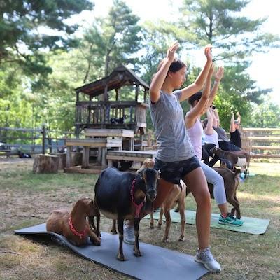 cvh-animal-sanctuary-goat-yoga