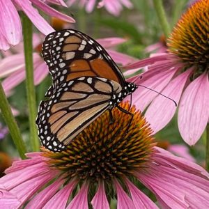 cvh-animal-sanctuary-monarch-coneflower