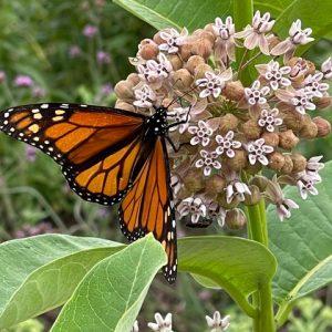 cvh-animal-sanctuary-monarch-milkweed