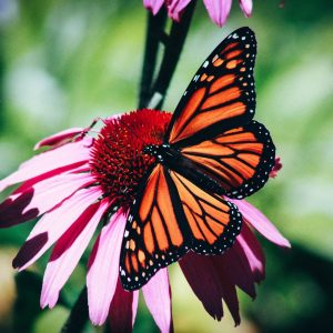 cvh-animal-sanctuary-pollinator-and-kindness-garden
